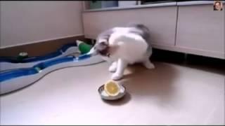 Смотреть Знакомство кошки с лимоном видео онлайн бесплатно   Природа и путешествия(, 2014-12-22T08:51:14.000Z)