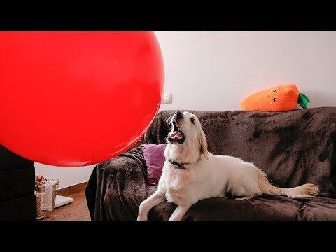 BIG EXPLOSION! Dog vs GIANT BALLOON | Funny Puppy Bailey