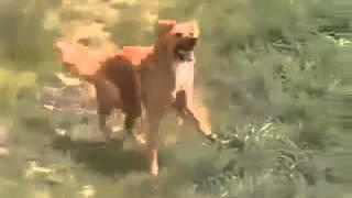 Собака танцует лезгинку