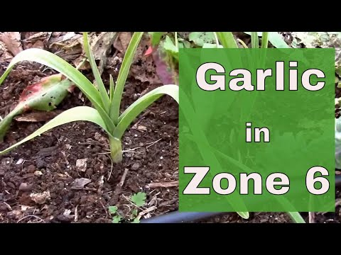 Planting and Growing Garlic in Zone 6.