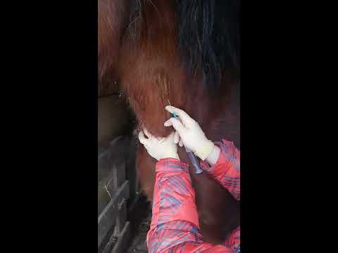 Вопрос: Как сделать инъекцию лошади?
