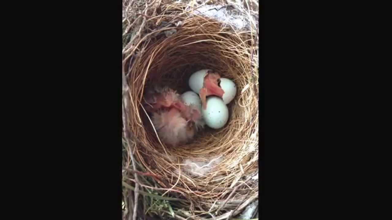 House Sparrow Eggs 3