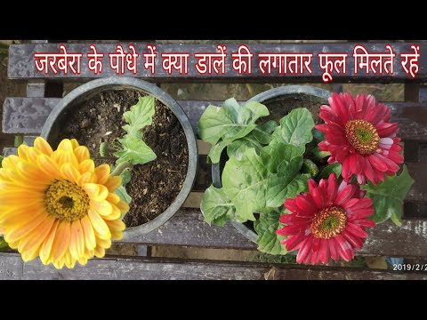 How To Care Gerbera Plant For Maximum Flowering