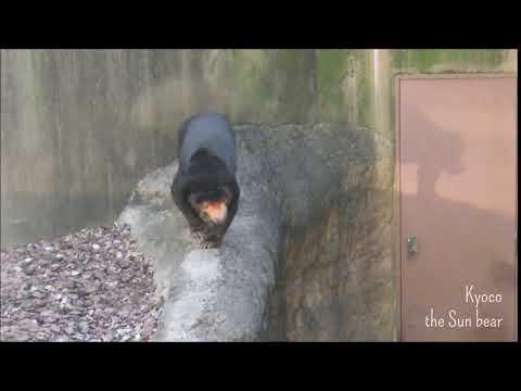 マレーグマのキョウコちゃん「寄りそう影」@上野動物園 / Kyoco the Sun bear and her silhouette at Ueno zoo