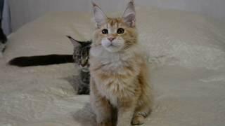 Красная тикированная девочка котенок Мейн-Кун, 5 месяцев