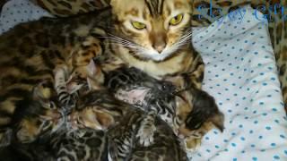 Bengal cat.  бенгальские котята, новорожденные бенгальские котята