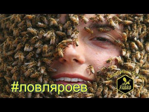 Ловля роёв пчел., Видео, Смотреть онлайн