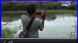 How to catch Snakehead Fish in Thailand l  Snakehead Fish l snakehead fish attack jump frog lure ep2