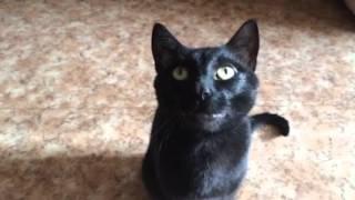 бомбейский кот Аксель делает зарядку )