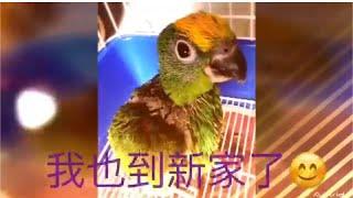 鸚鵡成長紀錄【奇異果小黃帽】