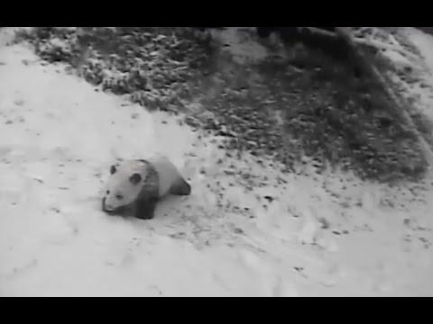 Bao Bao rolls and eats in the snow. Jan 6, 2015 National Zoo