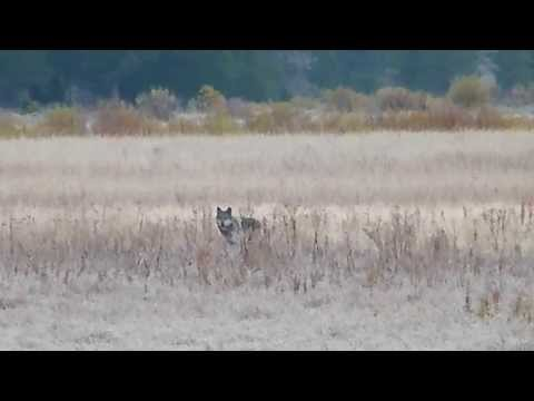 Wild Wolf - Lamar Pack Yearling Female - Yellowstone - Kids for Wolves