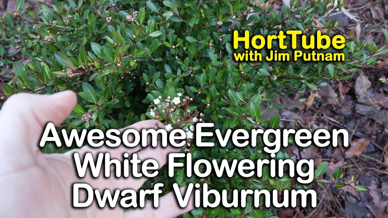 Awesome Evergreen White Flowering Raulston Hardy Dwarf Viburnum
