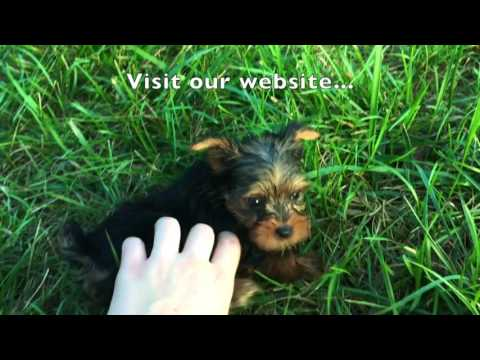 Samson, The Teacup Yorkie Puppy For Sale In Greensboro NC!