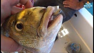 1.400gr Çipura Bu Videoda ;). Kiloüstü Balıklar Aldık - 10 Eylül 2017