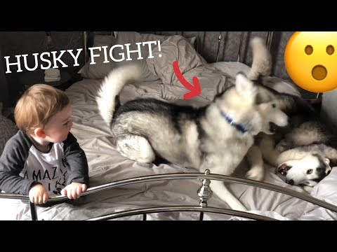 Husky Fight Scares Baby But Huskies Say Sorry And Make Baby Laugh Again! [READ DESCRIPTION]