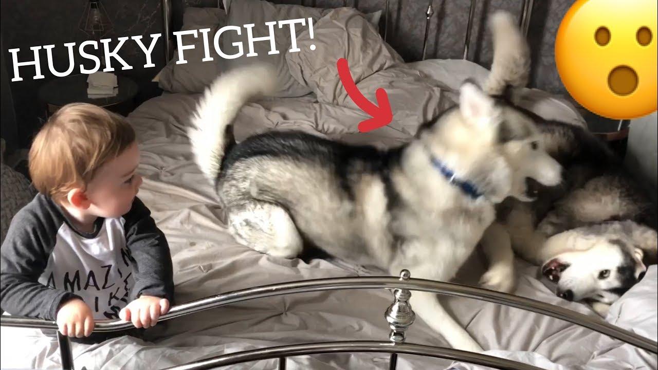 husky fight scares baby