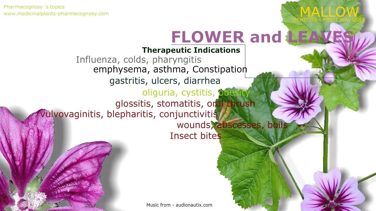 Mallow Health Benefits Of The Malva Sylvestris Mallow