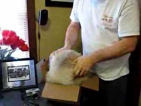Big Ragdoll Cat in Little Box - Funny / Crazy