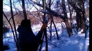 Pulling down hung up Locust tree with come-a-long