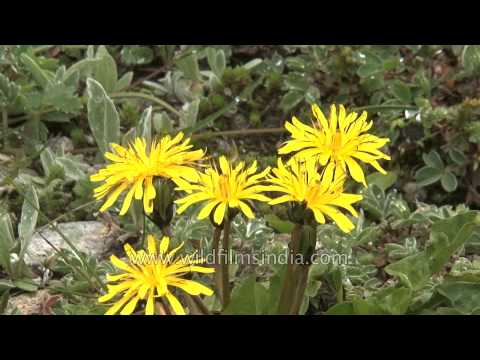 Dandelion flowers burst forth, in Himalayan meadow