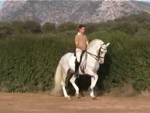 DRESSAGE Andalusian Stallion DOMA CLÁSICA. Cautivo XIII