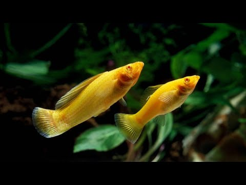 Molly Fish Male And Female Differences