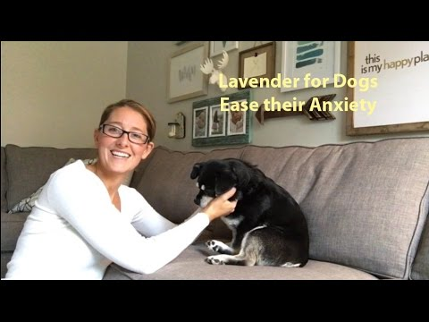 lavender-oil-eases-dog's-anxiety-during-thunderstorms