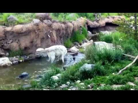 Yellowstone Wolves Fishing