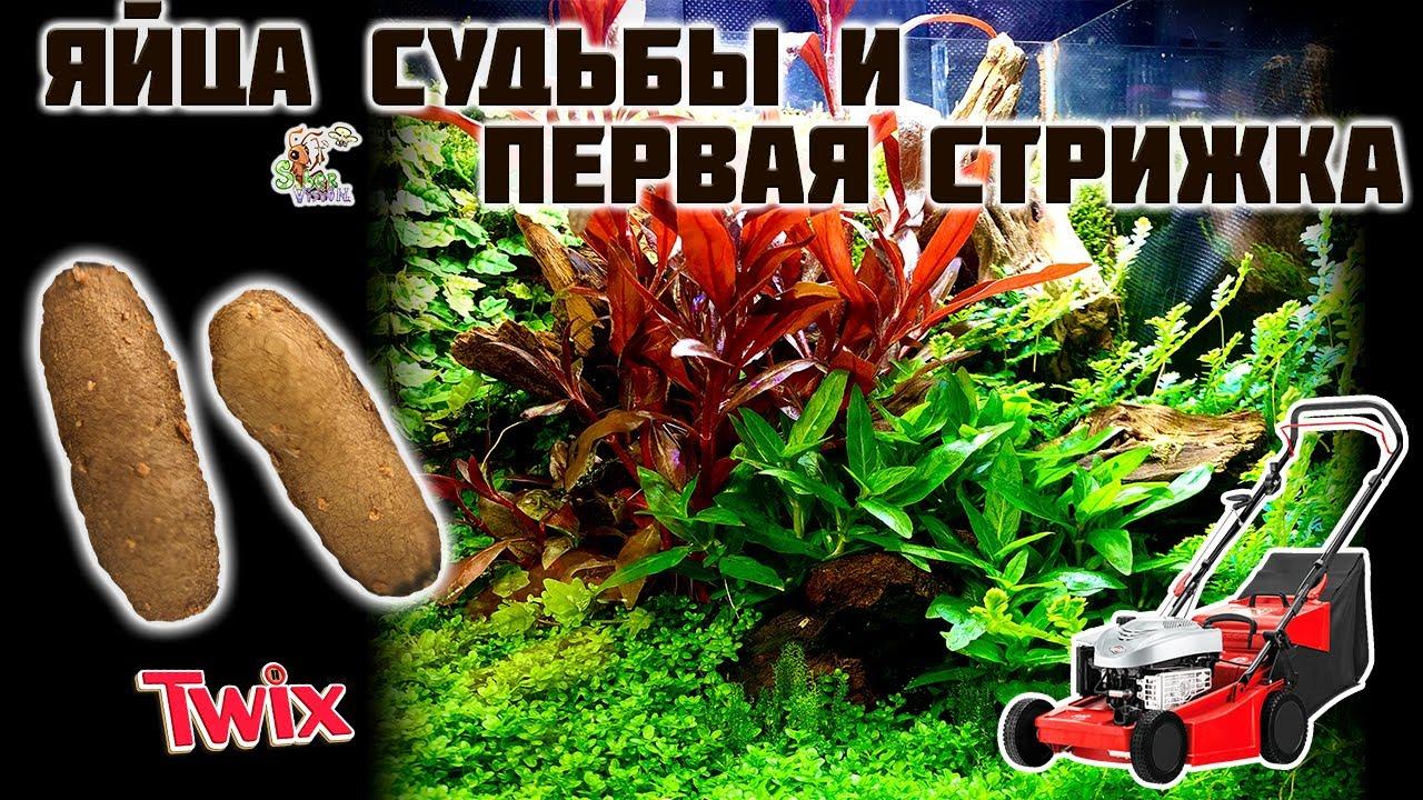 Яйца судьбы и первая стрижка ● Природный формикарий ● Odontomachus bauri