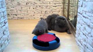 Котята январь 2012 - Кошачий питомник Puji Cat