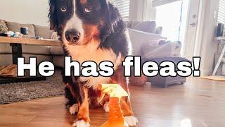 My Bernese Mountain Dog Has Fleas | Getting Rid Of Fleas