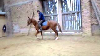 Valentino  horse for sale - (Volonter-T & Aramis)