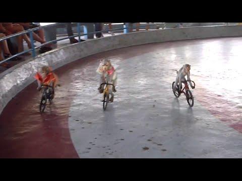 Scimmie In Bicicletta -  Monkey Riding Bike