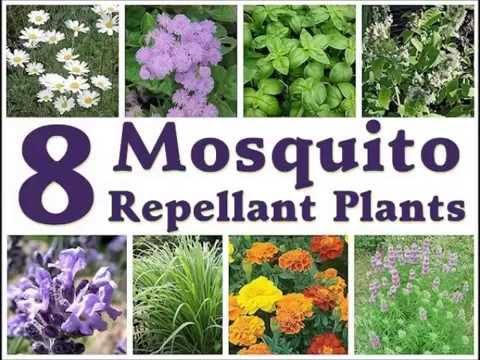 Mosquito Repellent Plants Effective Mosquito Repellent Plants