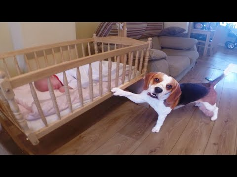 Sweet dog puts his baby sister to sleep in a swing crib(Charlie the dog)