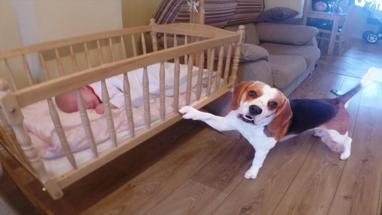 Beagle Dog Rocking Sweet Baby To Sleep Youtube