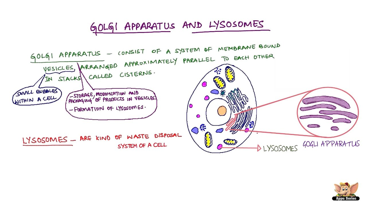 Golgi Apparatus And Lysosomes Youtube