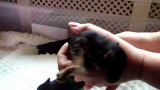 Miniture Yorkshire Terrier Puppies 4 Days Old