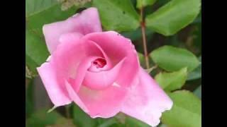 حسين نعمه عمي يا بياع الورد