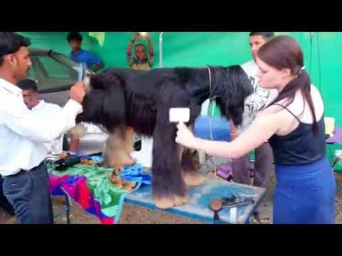 Afghan Hound Grooming