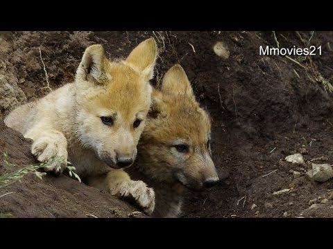 オオカミの赤ちゃん、はじめての遠吠え