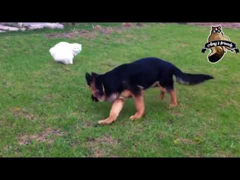 Amy's friends - kedi ve köpek kavgaları - Cat vs Dog Fighting Videos - 6 - 2018