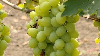 Сбор винограда на Кубани в самом разгаре