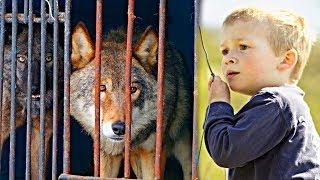 Деревенский мальчишка освободил волков из клетки! А волки, в знак благодарности, отплатили ему...