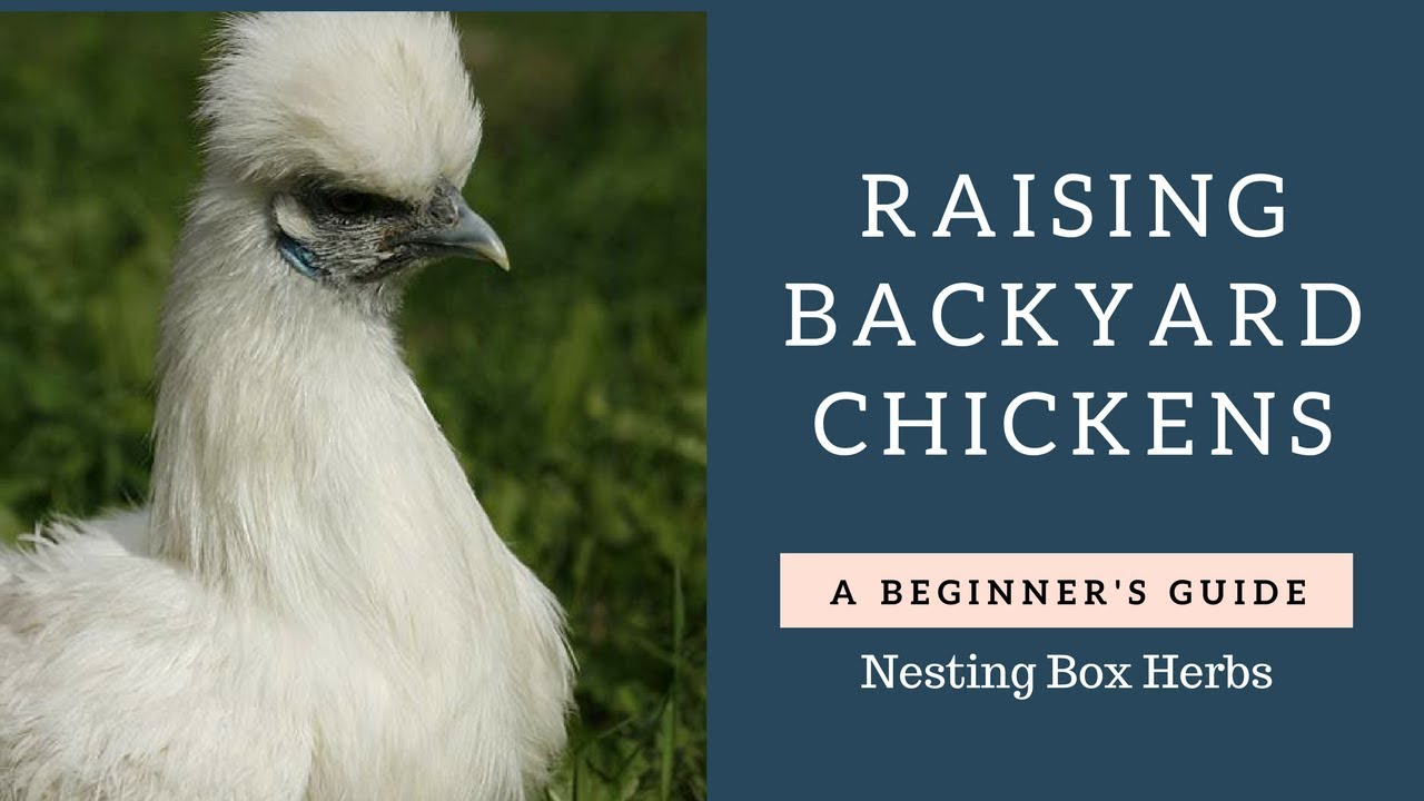 Beginners Guide To Raising backyard chickens - Nesting Box Aromatherapy - Beginners Guide To Raising Backyard Chickens - Nesting Box
