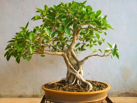 how-to-re-pot-pilkhan-tree-bonsai-(ficus-virens)-in-hindi/urdu