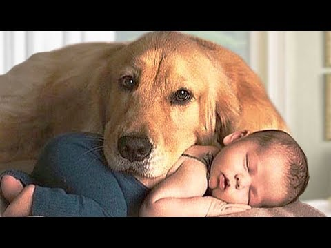 Golden Retriever Dog and Baby Compilation