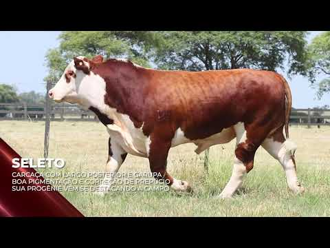 Touro Seleto - Braford indicado para IATF - RENASCER BIOTECNOLOGIA VIDEO