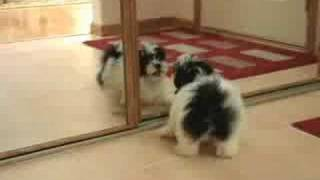 Puppy Vs. Mirror